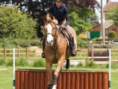 Beautiful 15.3hh Talented Allrounder 8 y/o Mare