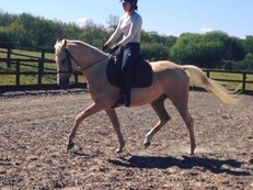 15hh 4 year old Palomino gelding