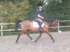 Joey. 16hh 6yr Bay Irish Sports Horse