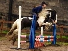 13. 2 4yrs Coloured Cob - Lancashire