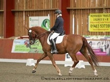 Gorgeous 16. 2hh Chestnut Gelding 11 Years