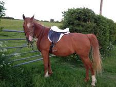 14, 3 gelding for loan or share