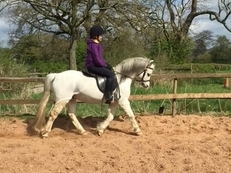 11.2hh sec A gelding 13years old
