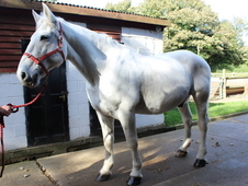 Grey Irish Draught 16. 2 14 Years Old Gelding 5 Star Home Wanted