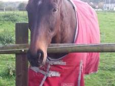 Beautiful 16. 1 Bay Tb Mare - Free To 5* Home