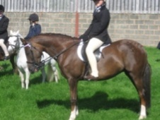 All Rounder horse - 9 yrs 13.2 hh Liver Chestnut - West Midlands