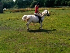 Mountain & Moorland horse - 11 yrs 11.3 hh Blue Roan - West Midlands