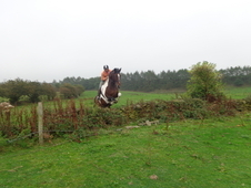 By King Of Colours 17. 1hh Huge Coloured Mare.