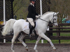 Top Quality Arab Performance Gelding