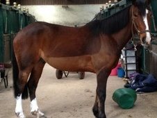All Rounder horse - 8 yrs 1 mth 15.1 hh Bay - West Midlands