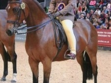Showing horse - 11 yrs 14.0 hh Bay - Lancashire