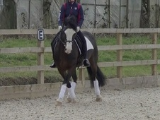 Dressage horse - 12 yrs 9 mths 14.1 hh Bay - North Yorkshire