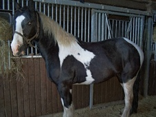Coloured horse - 4 yrs 15.2 hh Piebald - Staffordshire