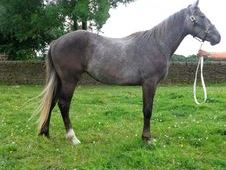 Registered Irish Draught Filly