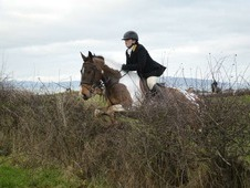 15. 2 Irish Gelding Hunter/riding club allrounder
