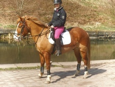 All Rounder horse - 13 yrs 13.3 hh Chestnut - Lancashire