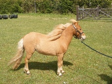 Miniatures horse - 2 yrs 1 mth 31.0 hh Chestnut - Suffolk