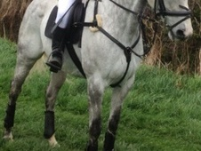 All Rounder horse - 11 yrs 15.3 hh Dapple Grey - Northumberland