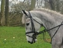 All Rounder horse - 6 yrs 15.3 hh Grey - Kent