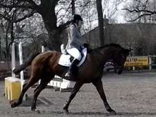 All Rounder horse - 7 yrs 16.3 hh Bay - Nottinghamshire