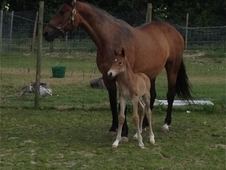 stuning broodmare for sale