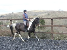 Coloured horse - 5 yrs 15.2 hh Tobiano - Devon