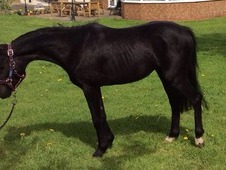 Stunning Black British Ridding Pony.