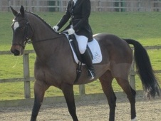 Dressage horse - 15 yrs 16.2 hh Bay - Nottinghamshire