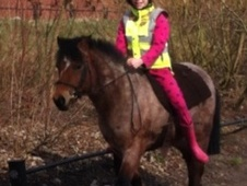 All Rounder horse - 10 yrs 10 mths 12.2 hh Bay Roan - Lancashire