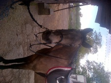 All Rounder horse - 8 yrs 2 mths 14.1 hh Dun - Hertfordshire