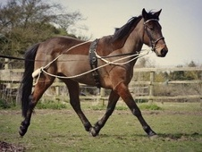 Other horse - 7 yrs 14.3 hh Bay - Kent