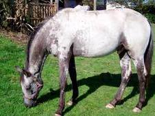 Appaloosa Youngstock For Sale