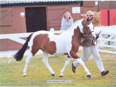 Stallions at Stud horse - 4 yrs 1 mth 14.0 hh Skewbald - North Yo...