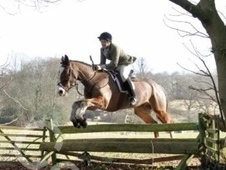 All Rounder horse - 12 yrs 6 mths 15.1 hh Bay - Hampshire