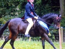 Showing horse - 9 yrs 13.1 hh Bay - Lancashire