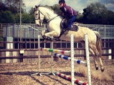 All Rounder horse - 7 yrs 7 mths 16.2 hh Grey - Leicestershire