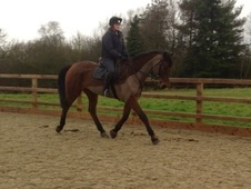 All Rounder horse - 9 yrs 16.3 hh Bay - Oxfordshire