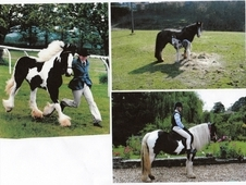 14. 3, 6 years old Piebald mare