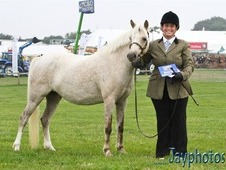 Cream roan welsh b mare