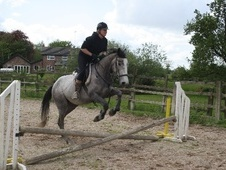 Sports Horses horse - 5 yrs 15.3 hh Iron Grey - Cheshire