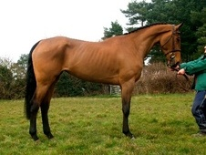 All Rounder horse - 6 yrs 4 mths 16.3 hh Bay - Kent