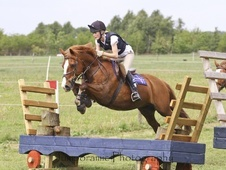 Pony Club Ponies horse - 17 yrs 14.1 hh Chestnut - South Yorkshire