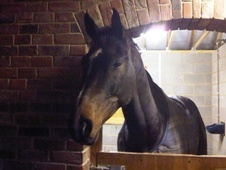 Sports Horses horse - 10 yrs 17.2 hh Bay - Humberside