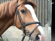All Rounder horse - 9 yrs 1 mth 16.2 hh Chestnut - Essex