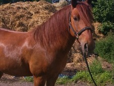 13h - 9 Year Old - Chestnut Gelding