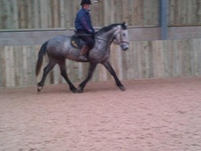 All Rounder horse - 5 yrs 15.2 hh Dapple Grey - Lancashire