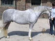 Mountain & Moorland horse - 5 yrs 13.0 hh Dapple Grey - East Sussex