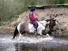 All Rounder horse - 9 yrs 8 mths 15.0 hh Tri-Coloured - Cheshire