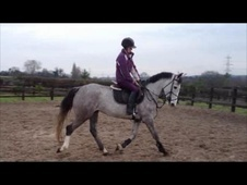 All Rounder horse - 4 yrs 7 mths 15.2 hh Iron Grey - Leicestershire