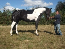 All Rounder horse - 6 yrs 4 mths 17.1 hh Coloured - Kent